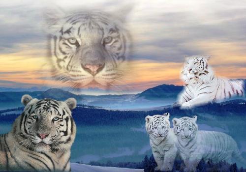 fond d 39 cran tigre plusieur tetes de tigres trop beau animaux sauvages. Black Bedroom Furniture Sets. Home Design Ideas