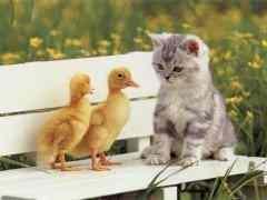 Cliquez pour télécharger l'image :: Un chat et deux petits poussins