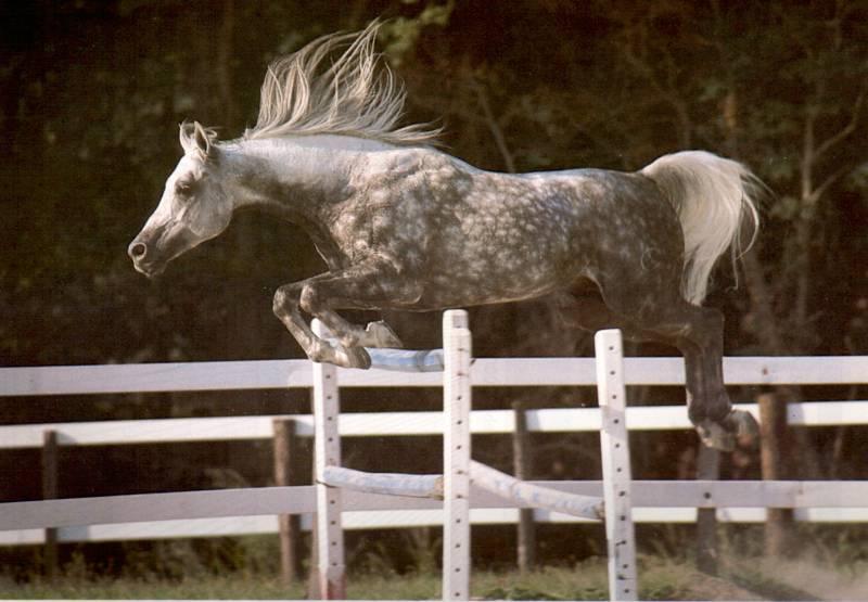 cheval arabe saut