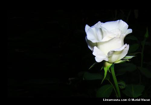 Fonds d 39 cran fleurs et roses fond d 39 cran - Rose de noel blanche ...