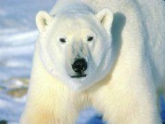 Cliquez pour télécharger l'image :: ourse polaire