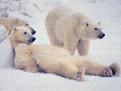 Click to downlowd the picture :: Relaxing Polar Bear