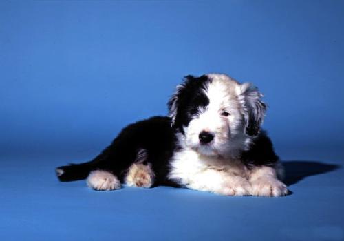 Fond d 39 cran petit chiot bobtail les chiens for Fond ecran chiot